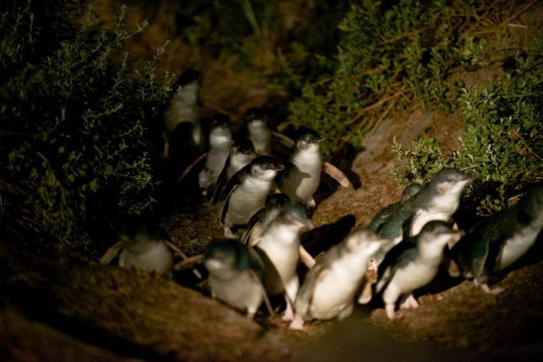 BICHENO PENGUIN TOURS_4